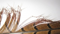Semperfli Double Knee Knotted Pheasant Tail - Natural